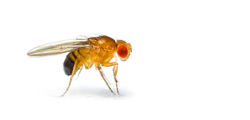 proteins, fruit fly study