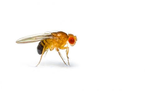 Signaling Cascade Discovered in Fruit Flies May Be Promising Target for FXS Therapy